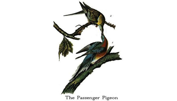 Passenger pigeons, from John James Audubon's Birds of America