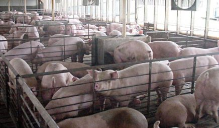 Confined hog production facility