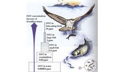 DDT accumulation in the food chain