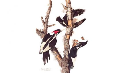 Watercolor painting of Ivory-billed Woodpeckers by John James Audubon
