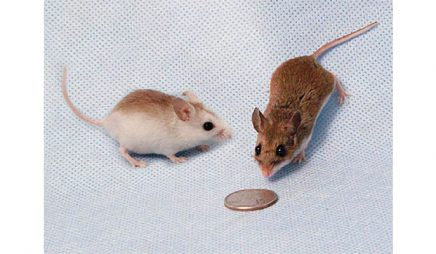 Color variation in the Oldfield mouse (Peromyscus polionotus)