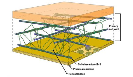 Simplified model of a primary cell wall