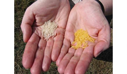 Conventional and golden rice