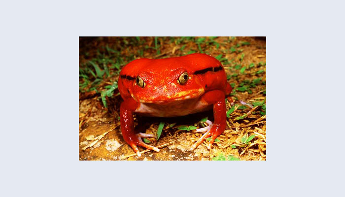 Tomato frog (Dyscophus antongilii). Listed on CITES Appendix 1 (threatened with extinction)