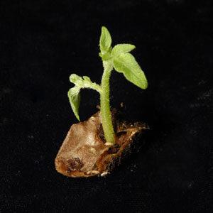 Potato Cube Sprout